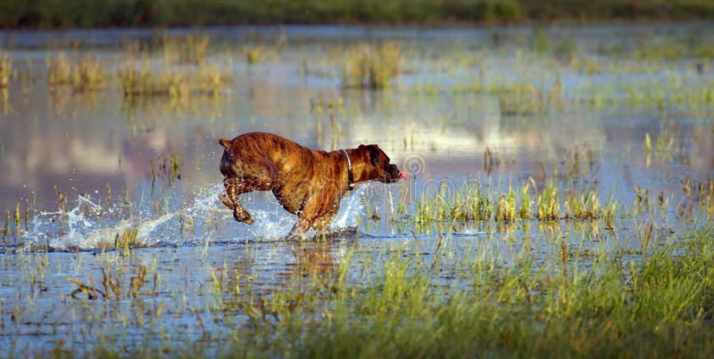 Boxer dog playing in the water. One boxer dog playing in the water and looking aside royalty free stock images