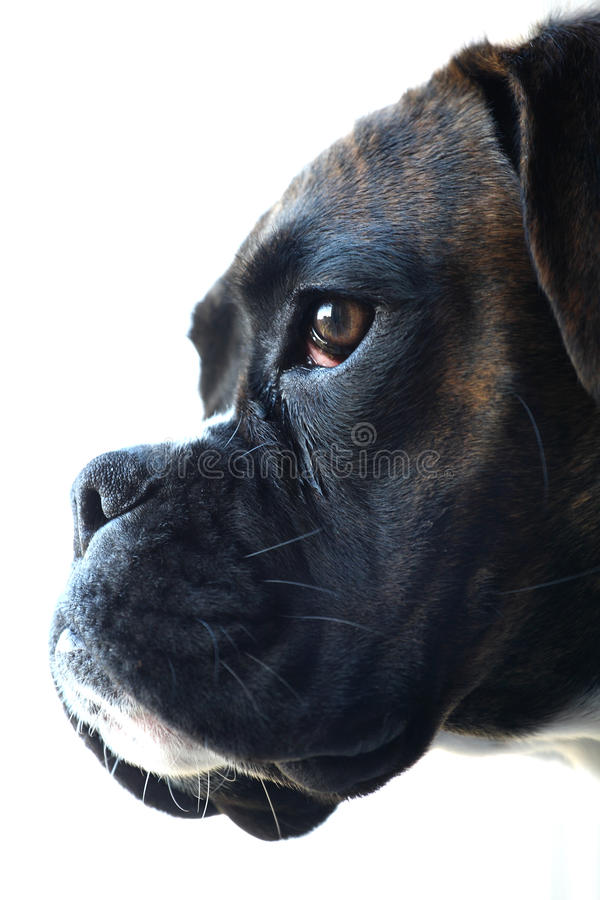 Free Boxer Dog Portrait Royalty Free Stock Images - 22889719