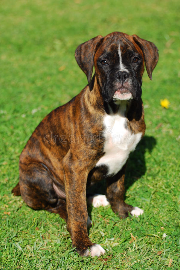 Download Boxer dog puppy stock image. Image of beautiful, sitting - 27330967