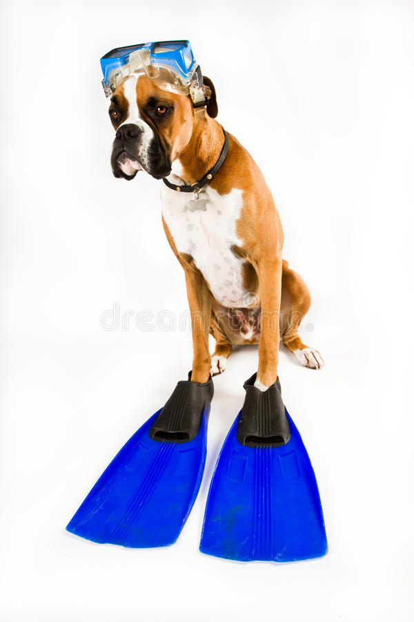 Free Boxer Dog Ready For Action Royalty Free Stock Images - 18898099