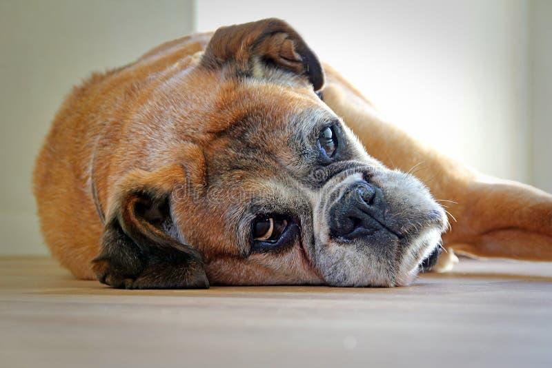 Boxer dog resting royalty free stock photos