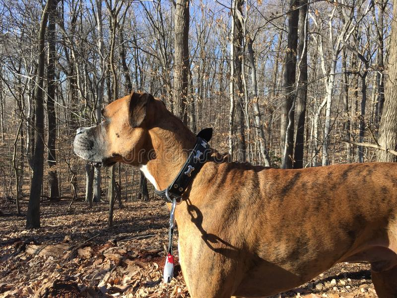 Boxer dog in Rock creek park in winter. Boxer dog in Fall leaves on forest during winter stock photography