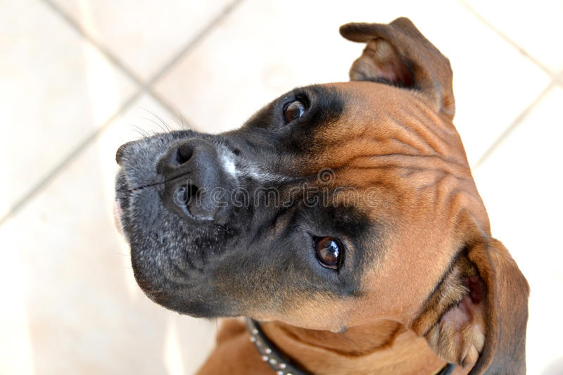Boxer Dog Waiting For A Treat Stock Image