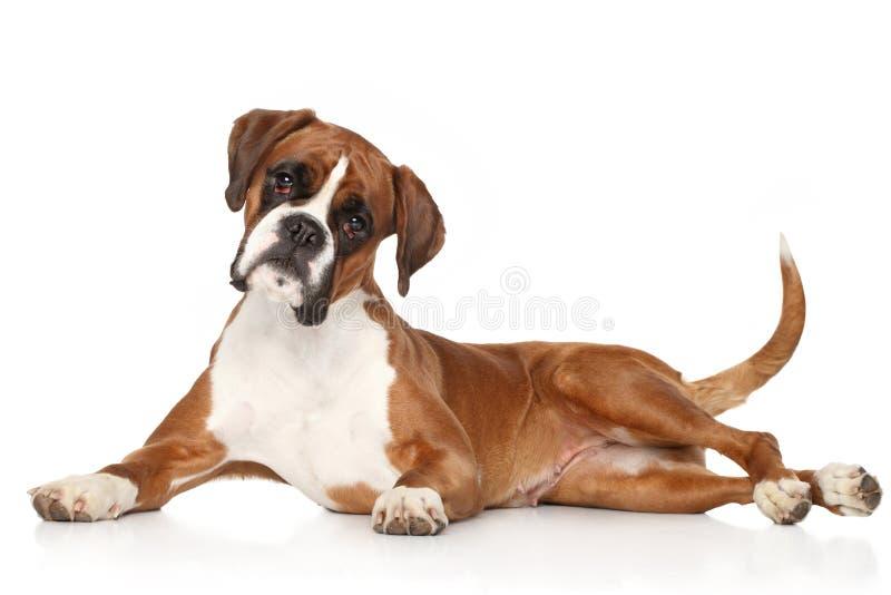 Boxer dog on white background. Boxer dog lying on white background stock photography