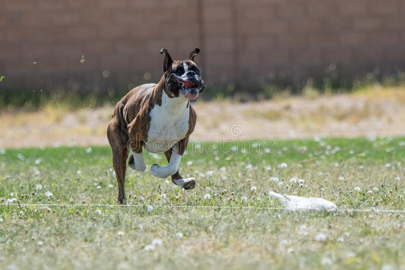Boxer with his lips flying chasing a lure royalty free stock photo