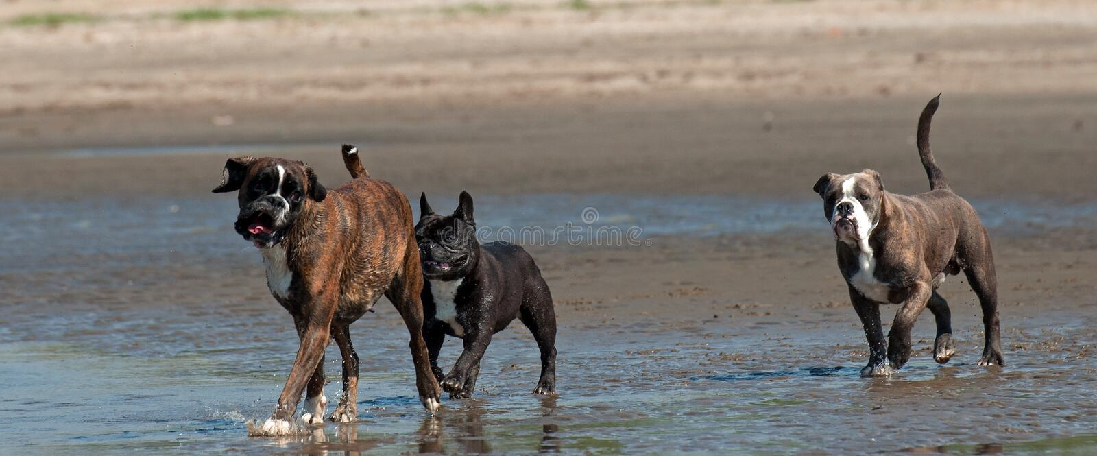A Boxer, French Bulldog and an Old English Bulldog walk on the beach. After a Swedish coast in the summer stock image