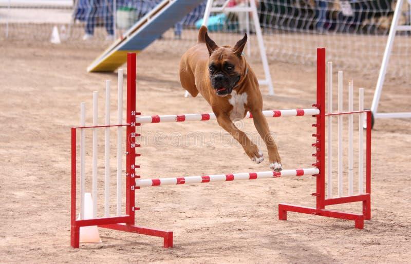 Boxer going over a jump in an agility course. Boxer jumping over an obstacle in agility course stock photos