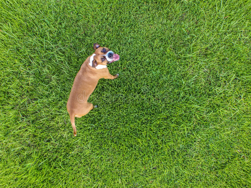 Boxer on green grass from above using drone. Top view of a dog while playing on the grass stock images