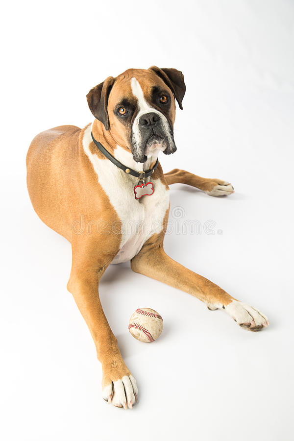 Boxer-Hund mit Baseball stockfotografie