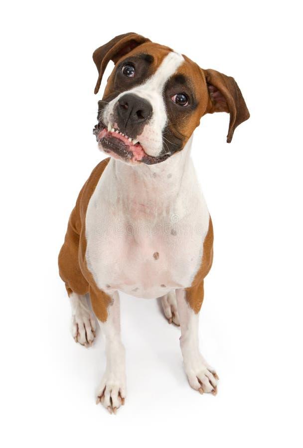 Boxer-Hund mit den Zähnen heraus lizenzfreie stockfotos