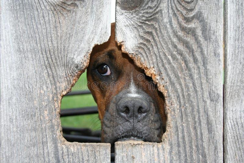 Boxer dog through wooden fence. Face and muzzle of brown boxer dog through hole in wooden fence royalty free stock photos