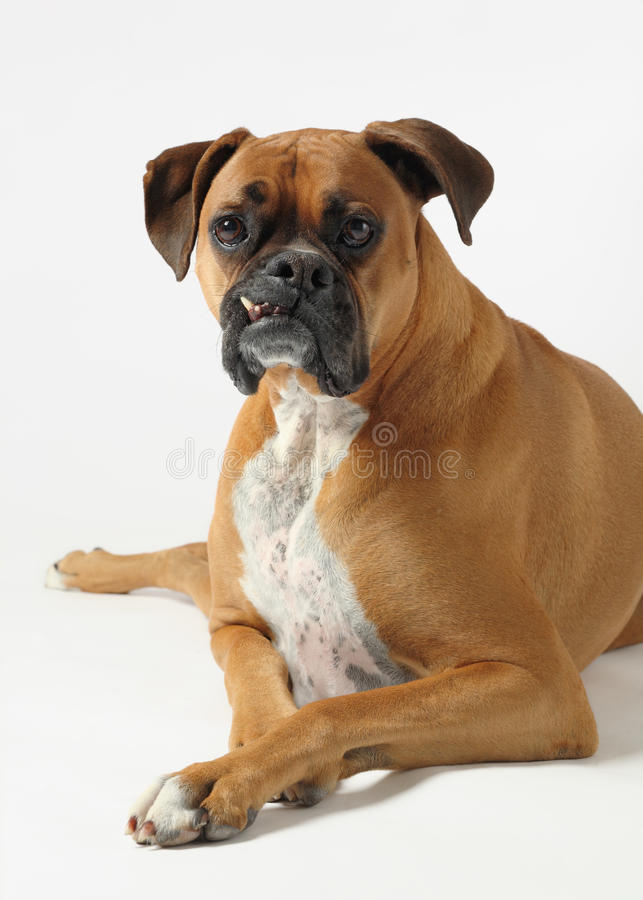 Boxer male royalty free stock photography