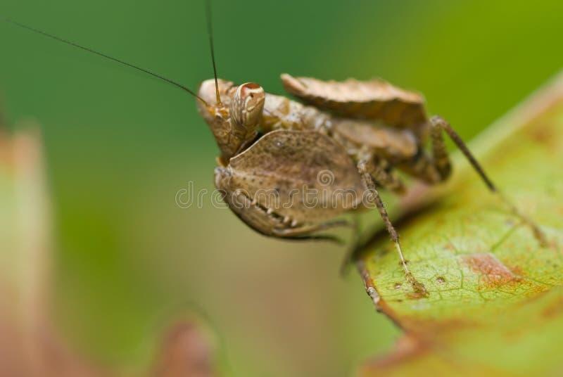 Download Boxer Mantis stock photo. Image of closeup, wilderness - 7127412