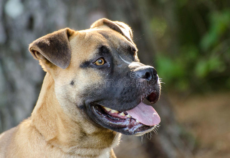 Boxer Mastiff mixed breed dog. Adoption photo, outdoor pet photography, humane society shelter adoption photo, Walton County Animal Control royalty free stock photography