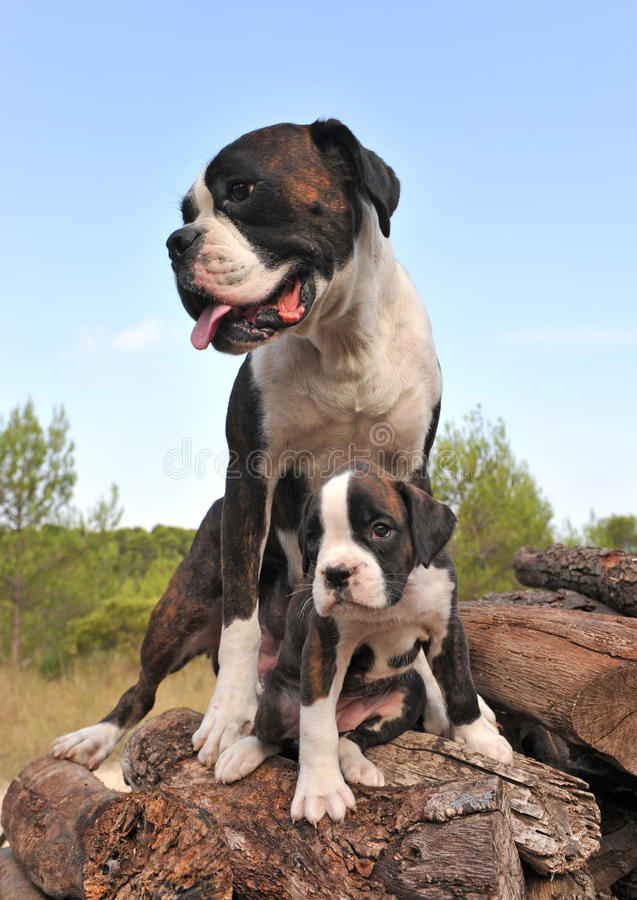 boxer mother puppy
