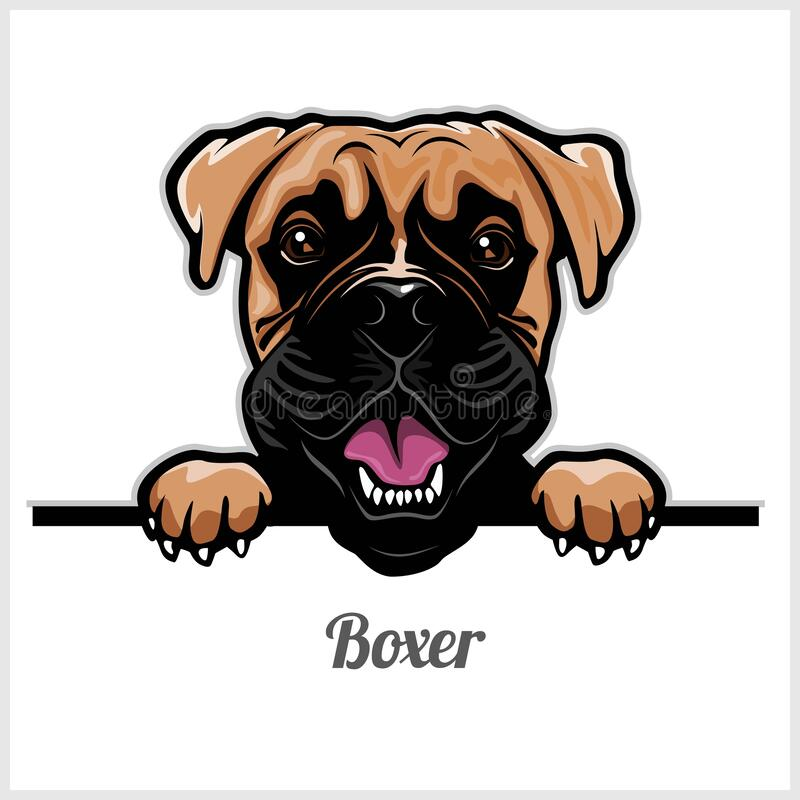 Boxer - Peeking Dogs - breed face head isolated on white stock illustration