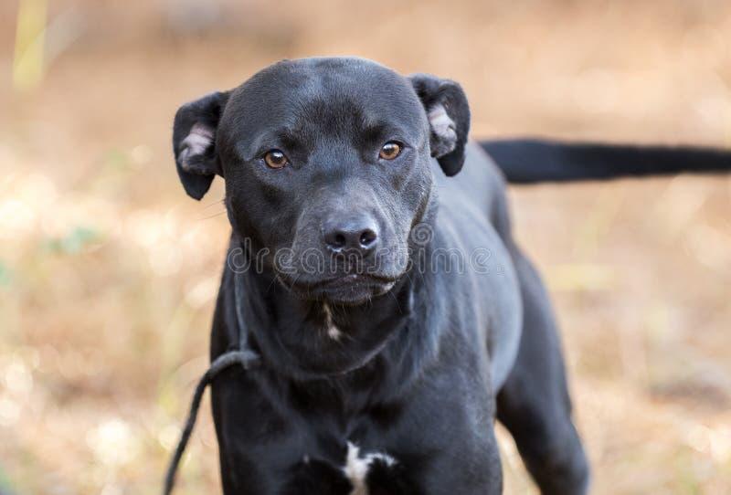 Boxer Pitbull mixed breed puppy laying down royalty free stock photos