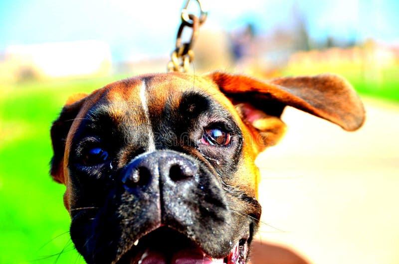 Boxer portrait stock photo