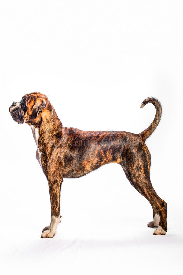 Boxer. Portrait of a boxer on a white background stock images