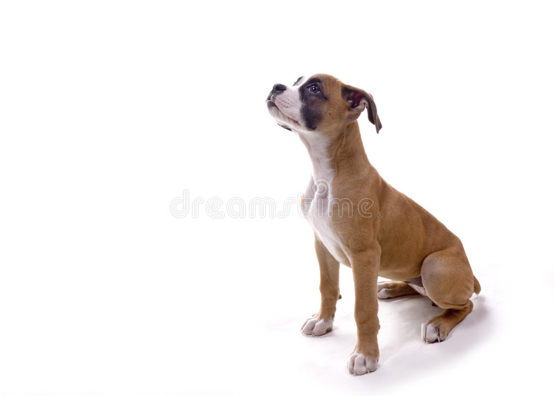 Boxer pup waiting for treat stock photography