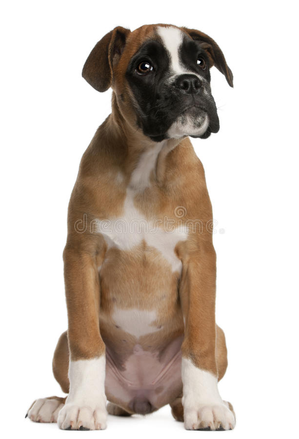 Boxer puppy, 3 months old, sitting royalty free stock photos
