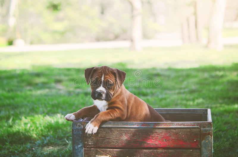 Boxer Puppy at the Park royalty free stock image