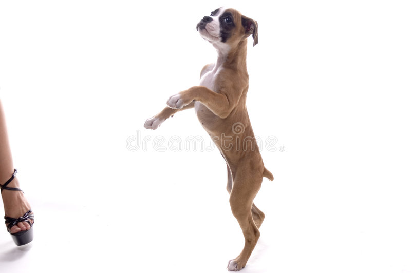 Boxer Puppy wanting a treat! royalty free stock photography