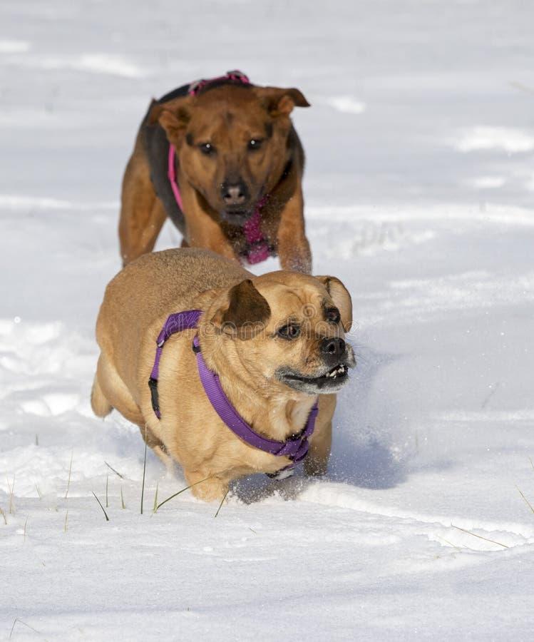 Boxer Schäfer und Puggle mischten die Zuchthunde, die in den Schnee laufen, der sich jagt lizenzfreie stockbilder