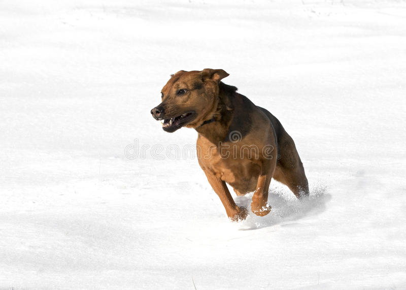 A Boxer Shepherd mixed breed dog running in snow royalty free stock photos