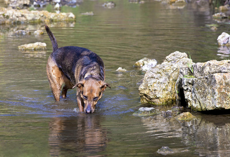 Boxer Shepherd mixed breed dog swimming in lake. A mixed breed Boxer Shepherd swimming in calm creek stock photo