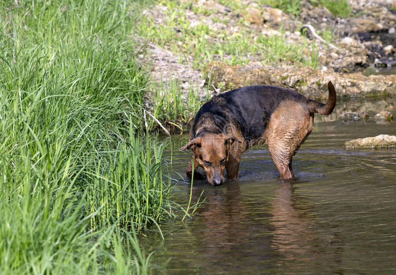 Boxer Shepherd mixed breed dog swimming in lake. A mixed breed Boxer Shepherd swimming in calm creek stock photography