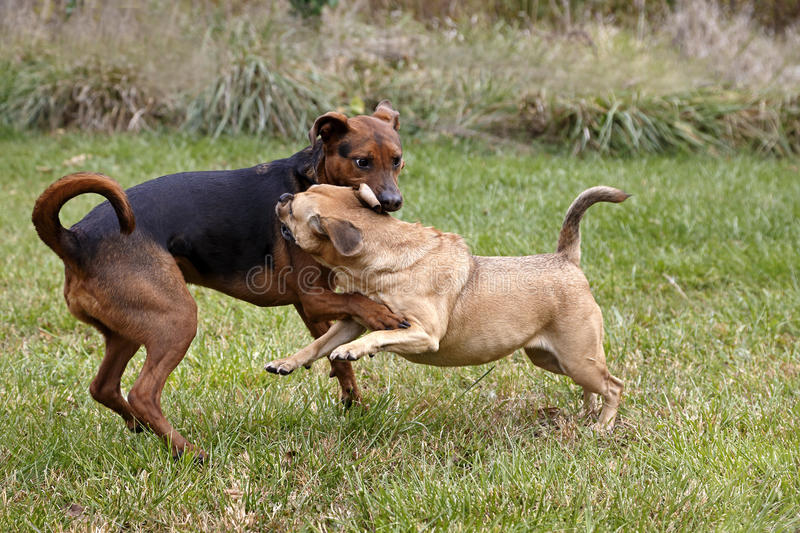 Boxer Shepherd and Puggle mixed breed dogs. Boxer Shepherd and a Puggle mixed breed dogs play in a field stock photography