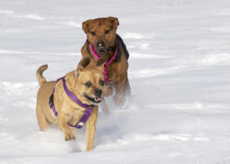 Boxer Shepherd and Puggle mixed breed dogs running in snow chasing each other. A Boxer Shepherd and Puggle mixed breed dogs running in a field of snow chasing stock photos
