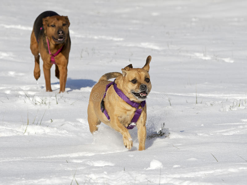 Boxer Shepherd and Puggle mixed breed dogs running in snow chasing each other. A Boxer Shepherd and Puggle mixed breed dogs running in a field of snow chasing royalty free stock photos