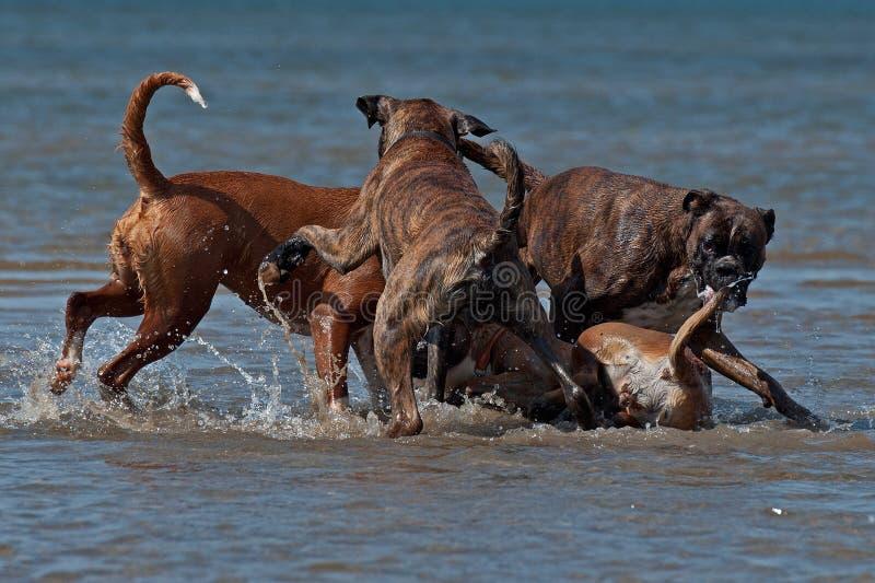 Boxer vier, der im Wasser kämpft stockbild