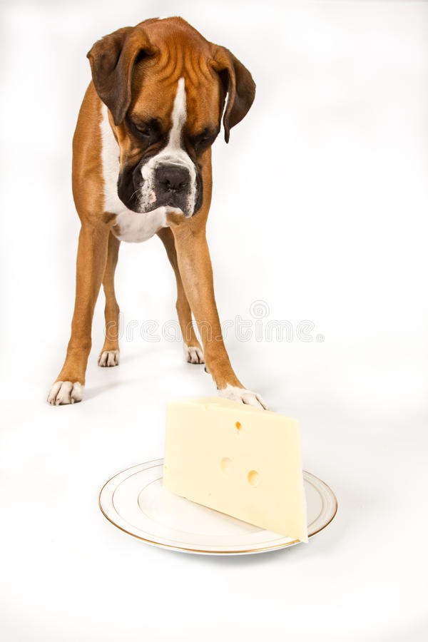 Free Boxer With Cheese Royalty Free Stock Images - 18898219