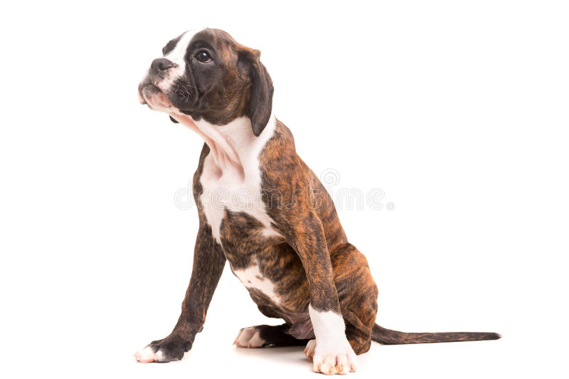 Boxer. A young and beautiful boxer puppy, isolated over white background stock photo
