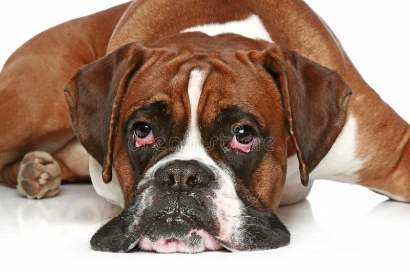 Boxerbrut, Lügen auf einem weißen Hintergrund stockfotos