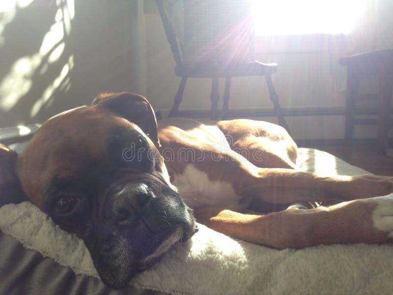 Boxerhund lizenzfreies stockfoto