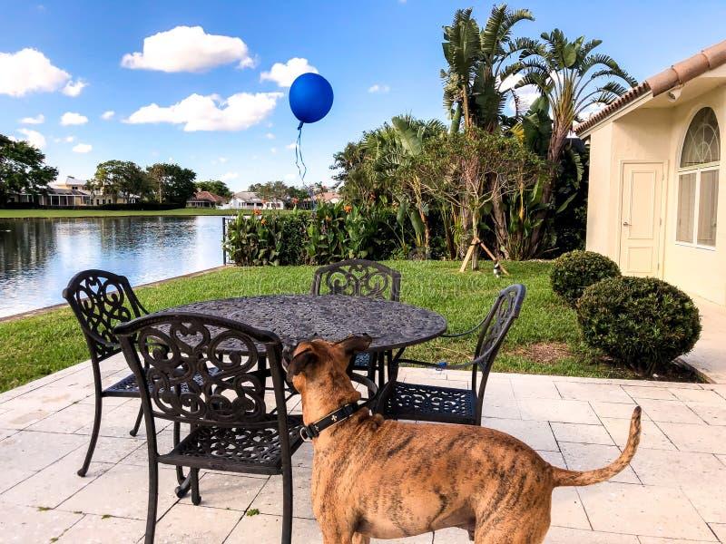 Boxerhund, der einen blauen Ballon betrachtet lizenzfreies stockbild
