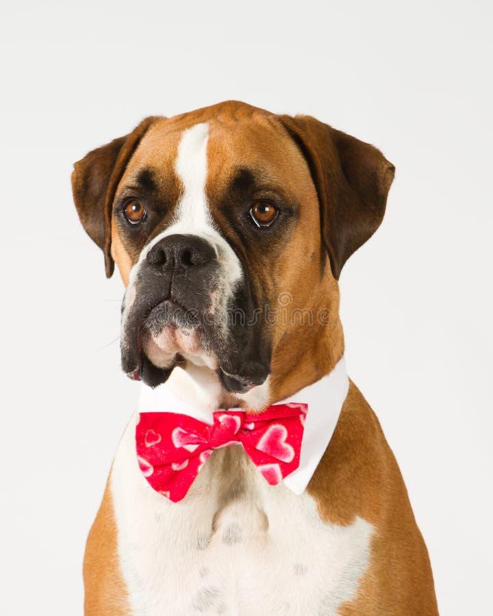 Boxerhund im Querbinder stockfotografie