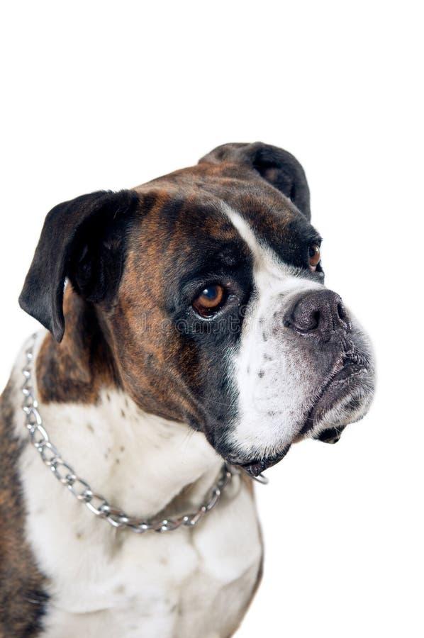 Boxerhundeporträt lizenzfreies stockbild