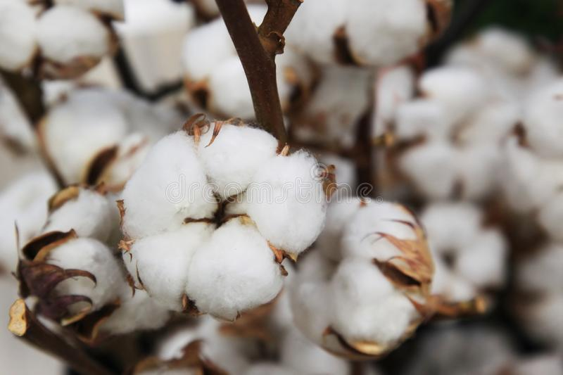 Boxes of cotton on bushes. Cotton plant cotton boll on branch in cotton field royalty free stock image
