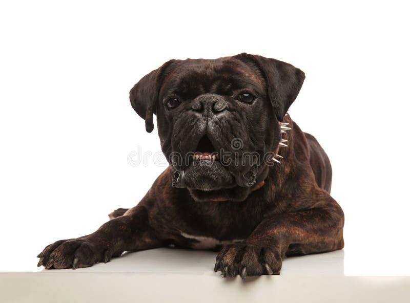 Boxeur noir menteur drôle avec le collier pointu semblant choqué photo libre de droits