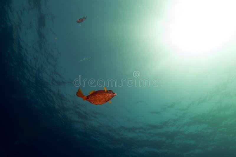 Boxfish, океан и солнце в Красном Море. стоковые изображения