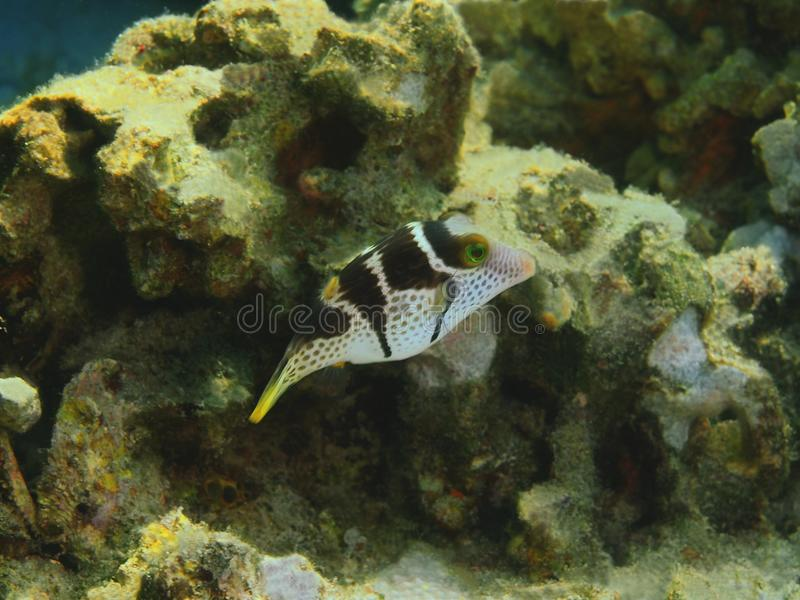 Boxfish image stock