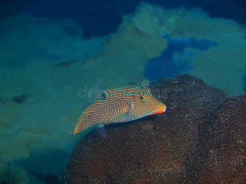 Boxfish photo stock