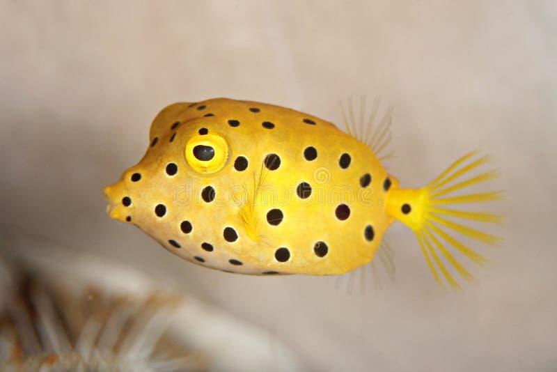 Boxfish. Close up black spot boxfish
