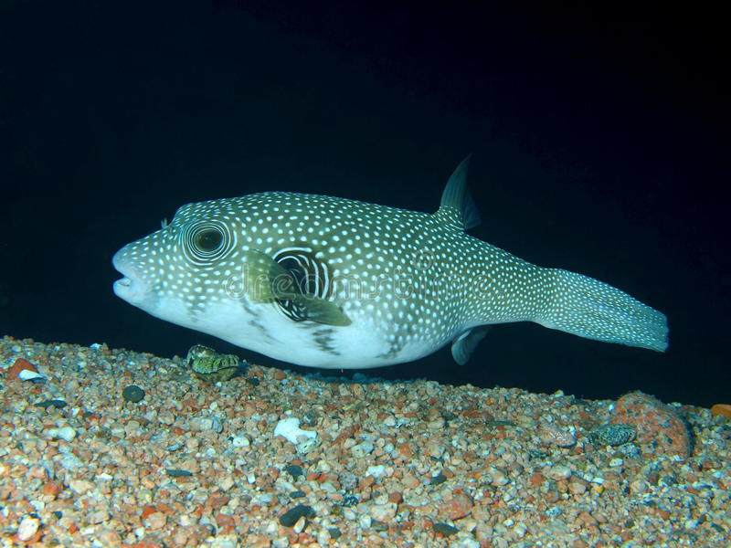 Boxfish photographie stock