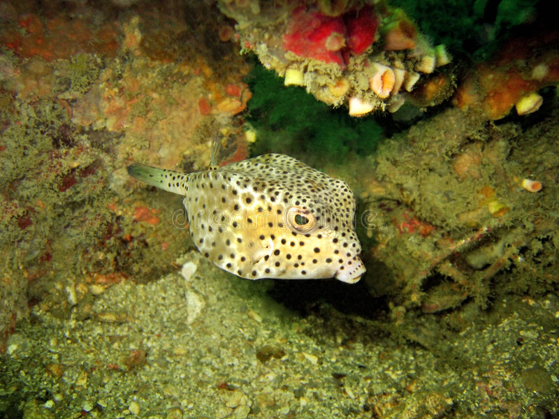 boxfish obrazy royalty free
